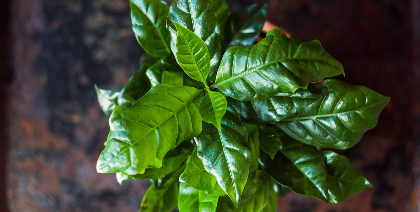 The origin of coffee: the coffee tree